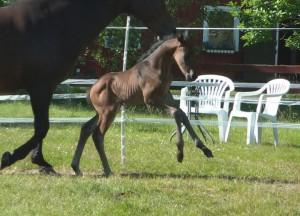 Herzensdieb - Don Primero Uppf. Madeleine Karlsson Modern Horse Breeding